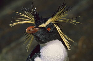 Rockhopper Penguin (Eudyptes chrysocome) portrait, Falkland Islands  -  Ingrid Visser