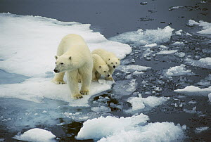 Polar Bear (Ursus maritimus) mother with two cubs on pack-ice, Arctic  -  Ingrid Visser