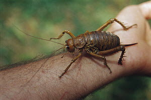 Cook Strait Giant Weta (Deinacrida rugosa), Maud Island, Marlborough Sounds, New Zealand  -  Ingrid Visser