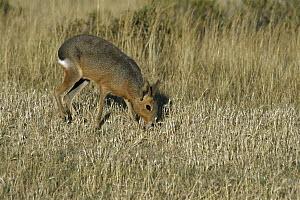 Patagonian Mara (Dolichotis patagonum), a rodent which looks like a cross between a rabbit and a deer, Punta Norte, Peninsula Valdes, Patagonia, Argentina  -  Ingrid Visser