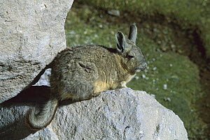 Southern Viscacha (Lagidium viscacia) on rocks, Chile  -  Ingrid Visser