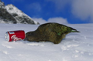 Kea (Nestor notabilis) investigating Coca Cola can, Southern Alps, New Zealand  -  Ingrid Visser