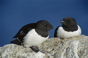 Little Auk (Alle alle) pair on rock, Arctic  -  Ingrid Visser