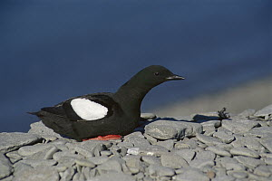 Black Guillemot (Cepphus grylle) resting on rocks, Arctic  -  Ingrid Visser