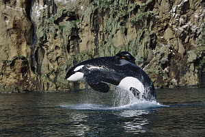 Orca (Orcinus orca) jumping, Keiko the star of the Free Willy movies, Vestmannaeyjar, Iceland  -  Ingrid Visser