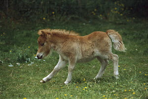 Domestic Horse (Equus caballus), shetland pony foal running, New Zealand  -  Ingrid Visser