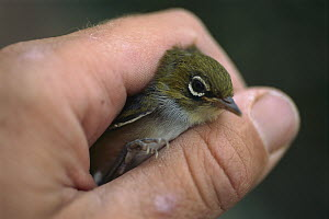 Silvereye (Zosterops lateralis) in hand about to be released, Nelson, New Zealand  -  Gordon Roberts