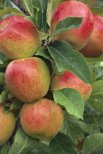 Cultivated Apple (Malus domestica) cluster, Braeburn type, Nelson, New Zealand  -  Grant Stirling