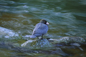 Blue Duck (Hymenolaimus malacorhynchos) standing on rock in stream, endangered, Kahurangi National Park, New Zealand  -  Steve Baker