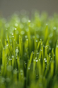 Dew on wheat, New Zealand  -  Keith-Nels Swenson