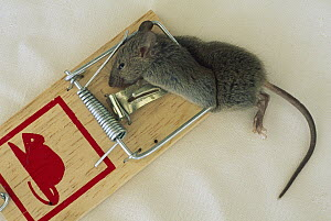 Mouse (Mus sp) caught in trap, New Zealand  -  Tony Brunt
