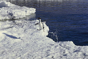 Adelie Penguin (Pygoscelis adeliae) leaving the water by jumping onto ice floe, Ross Island, Antarctica  -  Gordon Court