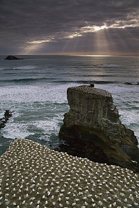 Australian Gannet (Morus serrator) nesting colony, Muriwai Beach, New Zealand  -  Jim Harding