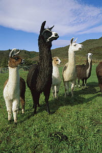 Llama (Lama glama) group near Takaka, South Island, New Zealand  -  Jim Harding