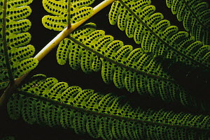 Fern frond showing spores, Karamea, South Island, New Zealand  -  Jim Harding