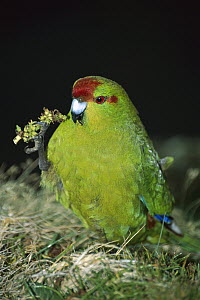 Red-fronted Parakeet (Cyanoramphus novaezelandiae) portrait, Enderby Island, New Zealand - Rob Brown
