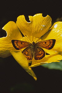 Gossamer-winged Butterfly (Lycaenidae) in Mountain Buttercup, Mount Owen, Kahurangi National Park, New Zealand  -  Rob Brown