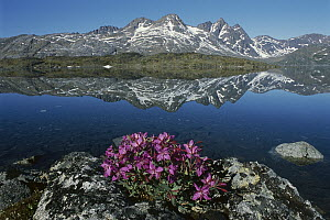 Dwarf Fireweed (Epilobium latifolium) with mountains in the background, Ammassalik, Greenland - Grant Dixon
