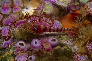 Blue-eyed Triplefin (Notoclinops segmentatus) on coral, Poor Knights Islands, New Zealand  -  Ross and Diane Armstrong