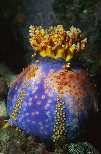 Sea Apple (Pseudocolochirus sp) sea cucumber attached to coral, Komodo Island, Indonesia  -  Ross and Diane Armstrong