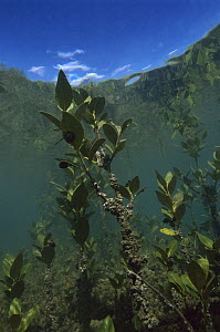 Mangrove (Rhizophoraceae) roots sprouting, Matapouri Estuary, Northland, New Zealand  -  Ross and Diane Armstrong