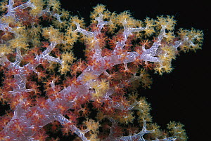 Soft Coral branches, Russell Islands, Solomon Islands  -  Ross and Diane Armstrong