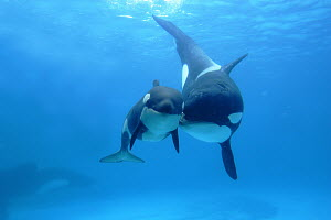 Orca (Orcinus orca) mother and newborn baby, Sea World, Kamogawa, Japan - Hiroya Minakuchi