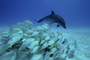 Atlantic Spotted Dolphin (Stenella frontalis) chasing school of snappers, Bahamas, Caribbean  -  Hiroya Minakuchi