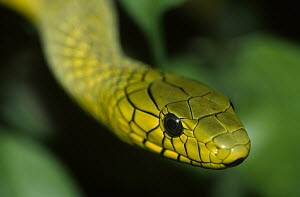 Green Mamba (Dendroaspis viridis) close up of head, venomous, east Africa  -  Ingo Arndt
