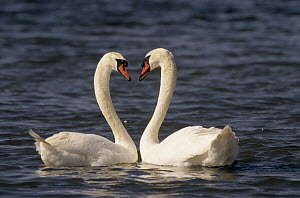 Mute Swan (Cygnus olor) pair courting, Europe  -  Flip de Nooyer