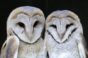 Barn Owl (Tyto alba) two juveniles side by side, Europe  -  Flip de Nooyer