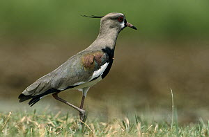 Southern Lapwing (Vanellus chilensis) walking across meadow, French Guiana  -  Flip de Nooyer