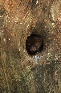 Pine Marten (Martes martes) young looking out of tree hole, Europe  -  Jan Vermeer