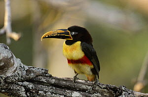 Black-necked Aracari (Pteroglossus aracari) a toucanet, perching on branch, Pantanal, Brazil  -  Flip de Nooyer