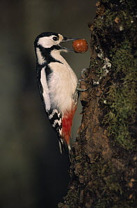 Great Spotted Woodpecker (Dendrocopos major) storing an acorn in tree trunk for future use, Europe  -  Duncan Usher