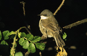 Lesser Whitethroat (Sylvia curruca) young male, Europe  -  Duncan Usher