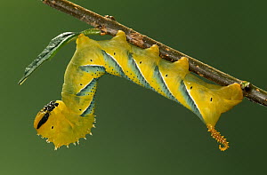 Death's Head Hawk Moth (Acherontia atropos) caterpillar, Europe - Ingo Arndt