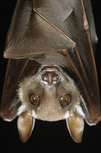 Buettikofer's Epauletted Bat (Epomops buettikoferi) close up of face - Ingo Arndt