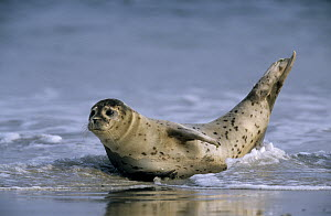 Common Seal (Phoca vitulina) on beach, Europe  -  Ingo Arndt