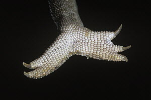 Jeweled Chameleon (Furcifer lateralis) underside detail of foot and claws - Ingo Arndt