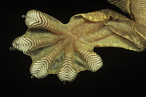 Kuhl's Flying Gecko (Ptychozoon kuhli) underside detail of foot with scales that have natural adhesive properties - Ingo Arndt