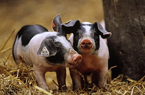 Domestic Pig (Sus scrofa domesticus) two piglets with tagged ears, Europe  -  Duncan Usher