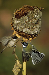 Marsh Tit (Parus palustris) and Great Tit (Parus major) fighting over Sunflower Seeds, Europe - Duncan Usher