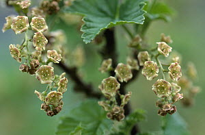 Currant (Ribes sp) flowers which will ripen into fruit, medicinal plant, Europe  -  Duncan Usher