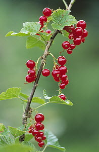 Currant (Ribes sp) close up of red berries, medicinal plant, Europe  -  Duncan Usher