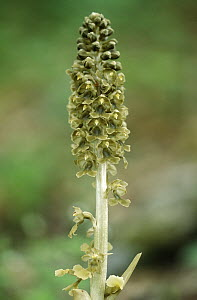 Bird's Nest Orchid (Neottia nidus-avis) gains nutrients from fungus which lives in its roots, Europe  -  Duncan Usher