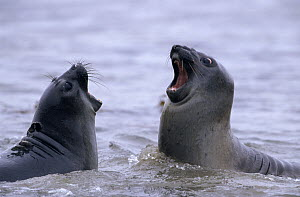 Southern Elephant Seal (Mirounga leonina) pair of sparring pups in shallow water, South Georgia Island - Flip de Nooyer