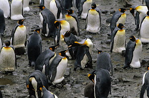 King Penguin (Aptenodytes patagonicus) nesting colony with individuals fighting for territory, St Andrews Bay, South Georgia Island - Flip de Nooyer