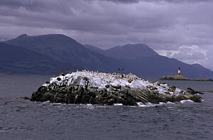 Blue-eyed Cormorant (Phalacrocorax atriceps) colony on Bird Island, Faro Les Eclaireurs lighthouse in the background, Beagle Channel off of Tierra del Fuego, Argentina  -  Flip de Nooyer