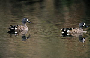 Blue-winged Teal (Anas discors) males on lake, North America  -  Flip de Nooyer